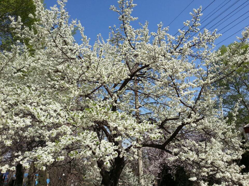 校园风景杏花开